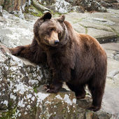 Brown Bear standing on a rock — Stock Photo