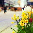 Daffodil flowers over bokeh street background — Stock Photo