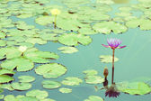 Water lily flower at the pond — Stock Photo