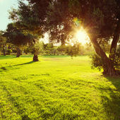 Olive trees in park at sunset — Stock Photo