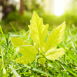 Stock Photo: Maple leaf in grass
