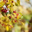 Autumn berry tree background — Stockfoto