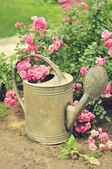 Beautiful pink rose in a garden near the watering can — Stock Photo