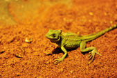 Green lizard on red sand soil — Stock Photo