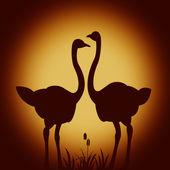 Ostriches — Stock fotografie