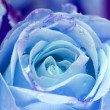 Blue rose — Stock Photo #23427272