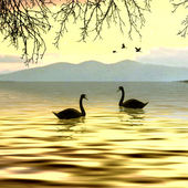 Swans on lake — Stock Photo