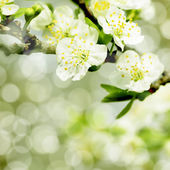 Blossoming tree of an apple-tree — Stock Photo
