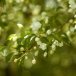 Branch of apple tree. white flowers — Stock Photo