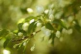 Rama del manzano. flores blancas — Foto de Stock