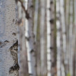 Birches — Stock Photo #22058561