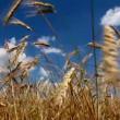 raccolto di grano — Video Stock