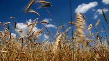Wheat Crop — Stock Video