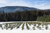 Pine and Fir Nursery — Photo