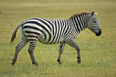 Single african zebra — Stock Photo