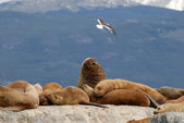 Relaxing sealions and seagull. — Stock Photo