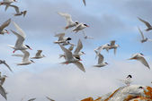 Flying seagulls. — Stock Photo