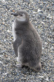 Loyely penguin near Ushuaia. — Stock Photo
