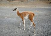 One standing baby guanaco — Stock Photo