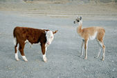 Baby's guanaco and calf bull — Photo