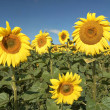 Stock Photo: Field of sunflowers with blue sky.