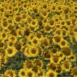 Stock Photo: Blissful field of sunflowers 6