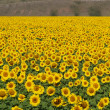 Stock Photo: Blissful field of sunflowers 4