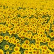 Stock Photo: Blissful field of sunflowers 2