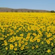 Stock Photo: Blissful field of sunflowers 1