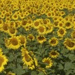 Blissful field of sunflowers. — Stock Photo #20119741