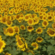 Blissful field of sunflowers. — Stock Photo #20119787