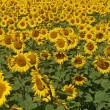 Stock Photo: Blissful field of sunflowers.
