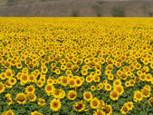 Blissful field of sunflowers 4 — Stock Photo