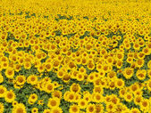 Blissful field of sunflowers 2 — Stock Photo