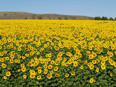 Blissful field of sunflowers 1 — Stock Photo
