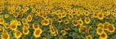 Blissful field of sunflowers. — Stock Photo