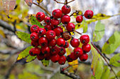 Rowan berries naturally hanging on the tree. — Stock Photo