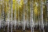 Autum birch forest. — Stock Photo