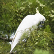 Stock Photo: Sulfur crested cockatoo on tree.