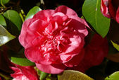 Pink camellia flower — Stock Photo