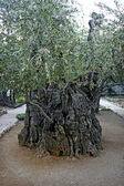 Olive tree in Garden of Gethsemane. — Стоковое фото