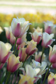 Arrangement of spring tulips — Stock Photo