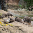 Family of oriental short-clawed otters — Stock Photo