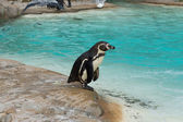 Pinguim perto da água — Fotografia Stock