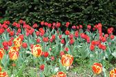 Pole tulipánů — Stock fotografie