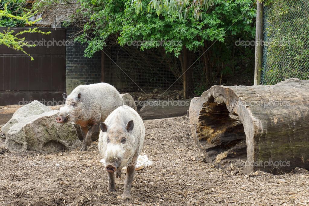 在动物园里的一支笔的胡子的猪 — 照片作者 pashamba