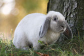 Blue siamese Rabbit — Stock Photo