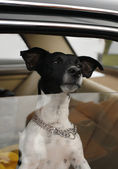 Dog in car window — Stock Photo