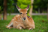Sika Deer sit on grass — Stock Photo