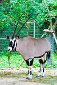Oryx gazella or Gemsbok in the zoo — Stock Photo